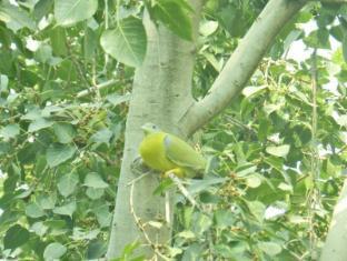 Hotel Jai Niwas Jaipur - Green Pigeons -Trees and Varied Bird Life