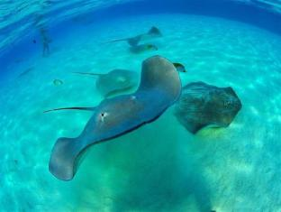 Hotel Hibiscus Moorea Island - Sting ray